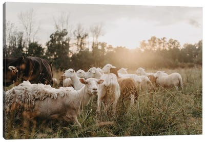 Sheep In The Field Canvas Art Print