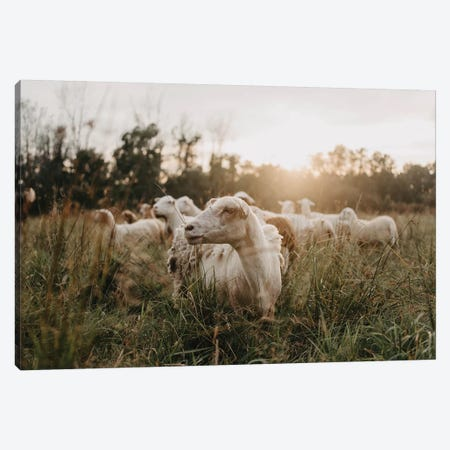 Sheep In The Field At Sunset Canvas Print #CVA331} by Chelsea Victoria Canvas Art