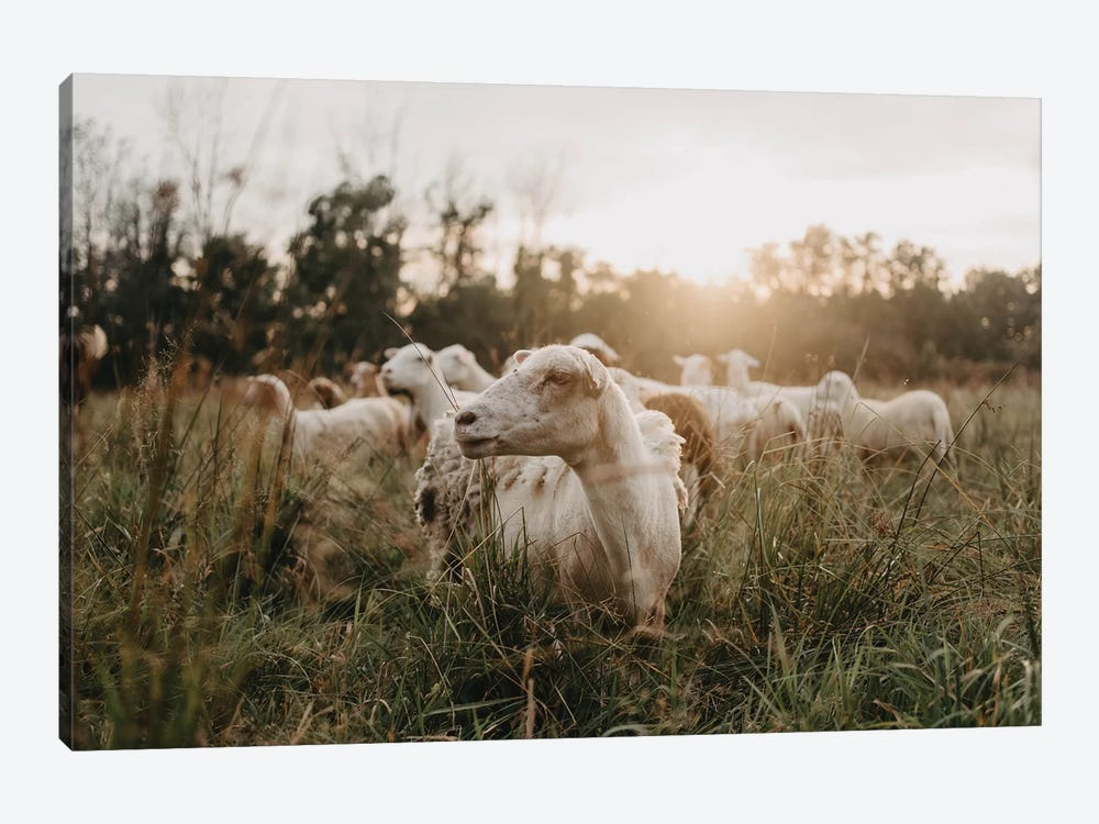 Sheep In The Field At Sunset by Chelsea Victoria 1-piece Canvas Wall Art