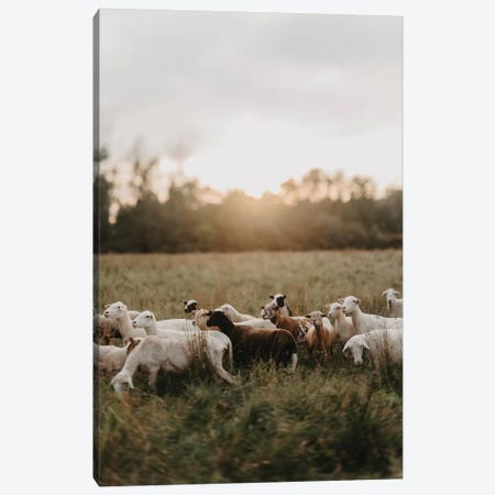 Sheep Herd At Sunset Canvas Print #CVA332} by Chelsea Victoria Canvas Wall Art