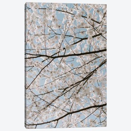 White Cherry Blossoms Canvas Print #CVA351} by Chelsea Victoria Canvas Artwork