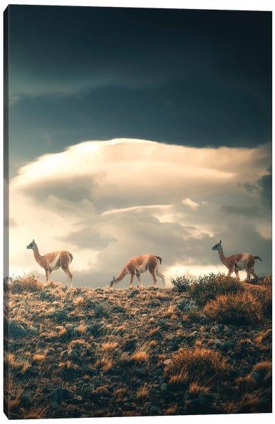 Guanacos - Chile Canvas Art Print