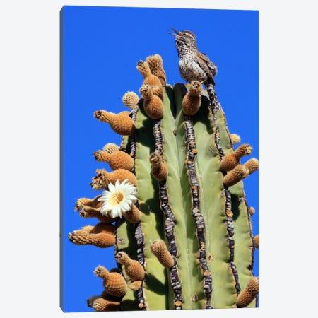 Cactus Wren Singing Atop Cardon Cactus, El Vizcaino Biosphere Reserve, Mexico Canvas Print #CYR10} by Cyril Ruoso Canvas Art Print