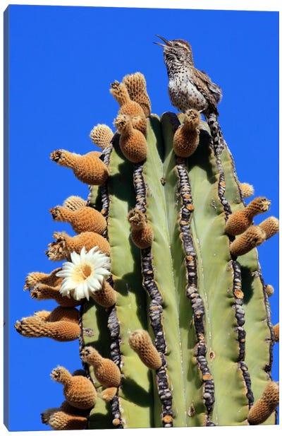 Cactus Wren Singing Atop Cardon Cactus, El Vizcaino Biosphere Reserve, Mexico Canvas Art Print