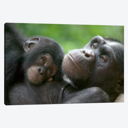 Chimpanzee Adult Female And Infant, Pandrillus Drill Sanctuary, Nigeria Canvas Print #CYR12} by Cyril Ruoso Canvas Print