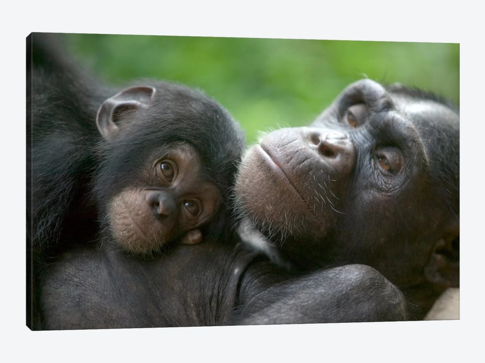 Chimpanzee Adult Female And Infant, Pandrillus Drill Sanctuary, Nigeria by Cyril Ruoso 1-piece Canvas Print