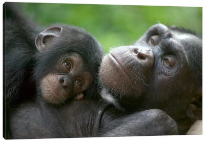 Chimpanzee Adult Female And Infant, Pandrillus Drill Sanctuary, Nigeria Canvas Art Print