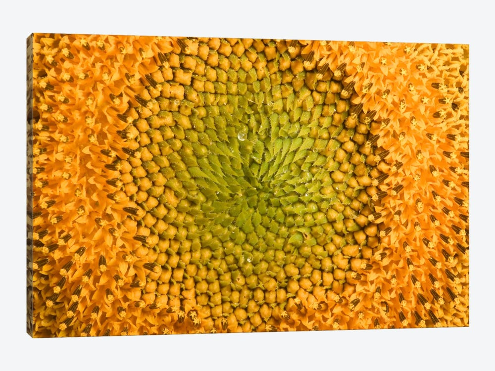 Common Sunflower Close Up Showing Anthers Covered With Pollen, Bourgogne, France by Cyril Ruoso 1-piece Canvas Wall Art
