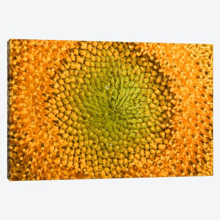 Common Sunflower Close Up Showing Anthers Covered With Pollen, Bourgogne, France Canvas Print #CYR13} by Cyril Ruoso Canvas Print