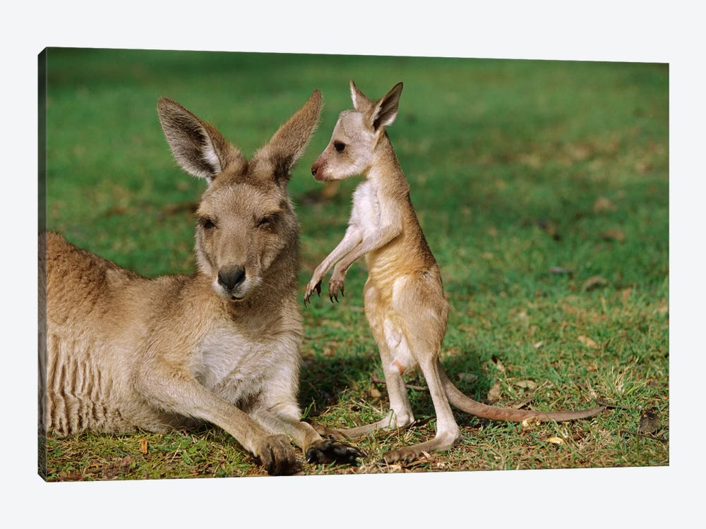 Eastern Grey Kangaroo Mother With Joey, Australia by Cyril Ruoso 1-piece Canvas Print