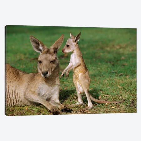Eastern Grey Kangaroo Mother With Joey, Australia Canvas Print #CYR14} by Cyril Ruoso Canvas Wall Art