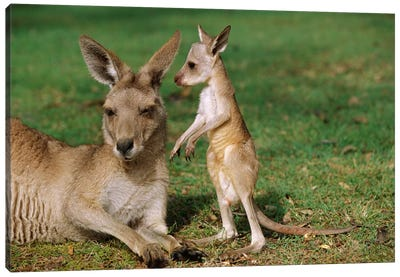 Eastern Grey Kangaroo Mother With Joey, Australia Canvas Art Print