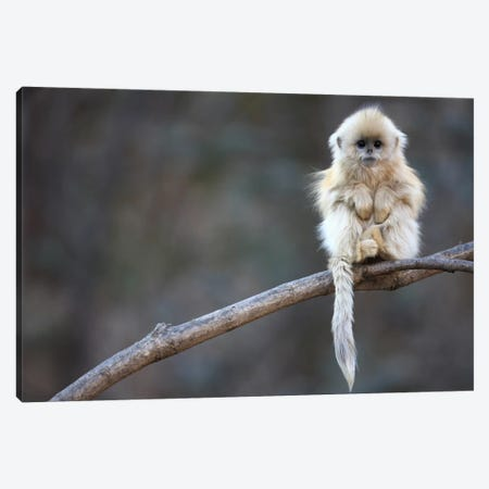 Golden Snub-Nosed Monkey Juvenile, Qinling Mountains, China Canvas Print #CYR15} by Cyril Ruoso Canvas Wall Art