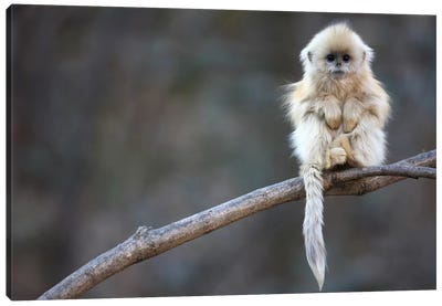 Golden Snub-Nosed Monkey Juvenile, Qinling Mountains, China Canvas Art Print