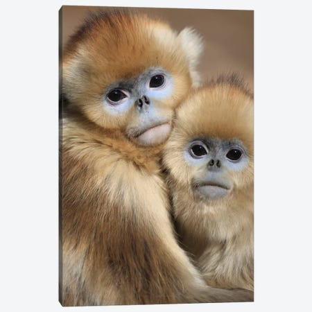 Golden Snub-Nosed Monkey Juveniles Huddled Up Against Each Other To Keep Warm, Qinling Mountains, China Canvas Print #CYR16} by Cyril Ruoso Canvas Wall Art