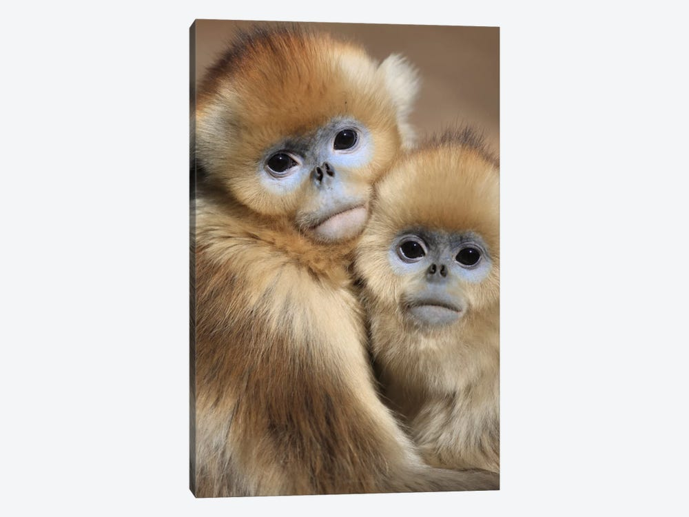Golden Snub-Nosed Monkey Juveniles Huddled Up Against Each Other To Keep Warm, Qinling Mountains, China by Cyril Ruoso 1-piece Art Print