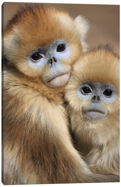 Golden Snub-Nosed Monkey Juveniles Huddled Up Against Each Other To Keep Warm, Qinling Mountains, China Canvas Art Print