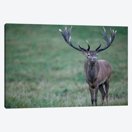 Red Deer Stag In Autumn Rutting Season, Denmark Canvas Print #CYR18} by Cyril Ruoso Art Print