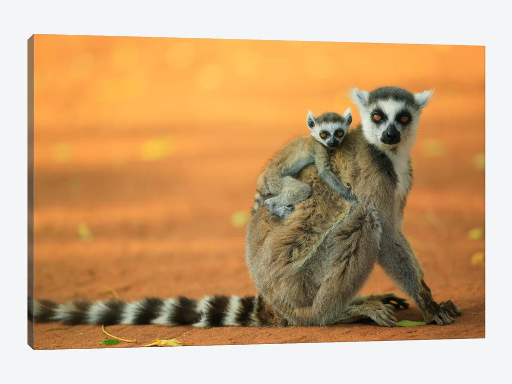 Ring-Tailed Lemur Mother With Baby Clinging To Her Back, Vulnerable, Berenty Private Reserve, Madagascar by Cyril Ruoso 1-piece Canvas Art