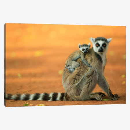Ring-Tailed Lemur Mother With Baby Clinging To Her Back, Vulnerable, Berenty Private Reserve, Madagascar Canvas Print #CYR19} by Cyril Ruoso Canvas Print
