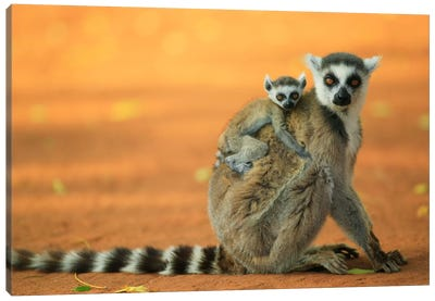 Ring-Tailed Lemur Mother With Baby Clinging To Her Back, Vulnerable, Berenty Private Reserve, Madagascar Canvas Art Print