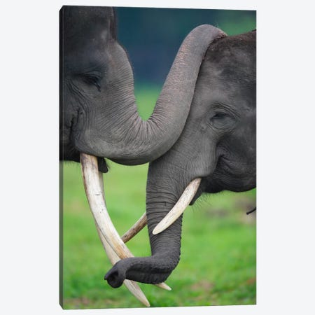 Asian Elephant Pair Playing, Way Kambas National Park, Sumatra, Indonesia Canvas Print #CYR1} by Cyril Ruoso Canvas Print