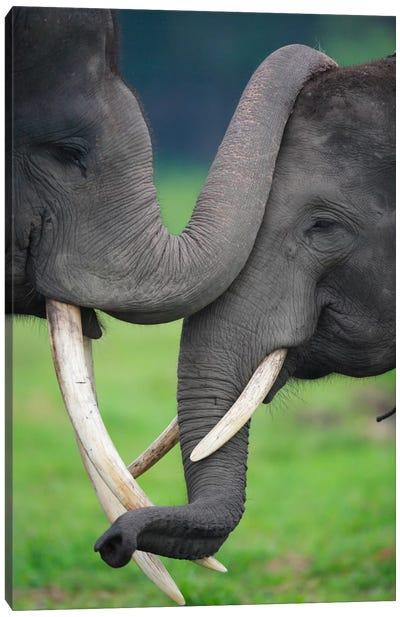 Asian Elephant Pair Playing, Way Kambas National Park, Sumatra, Indonesia Canvas Art Print