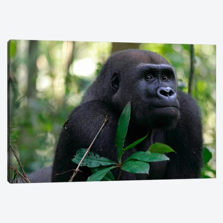Fifteen Year Old Silverback Western Lowland Gorilla, Bateke Plateau National Park, Gabon Canvas Print #CYR23} by Cyril Ruoso Canvas Wall Art