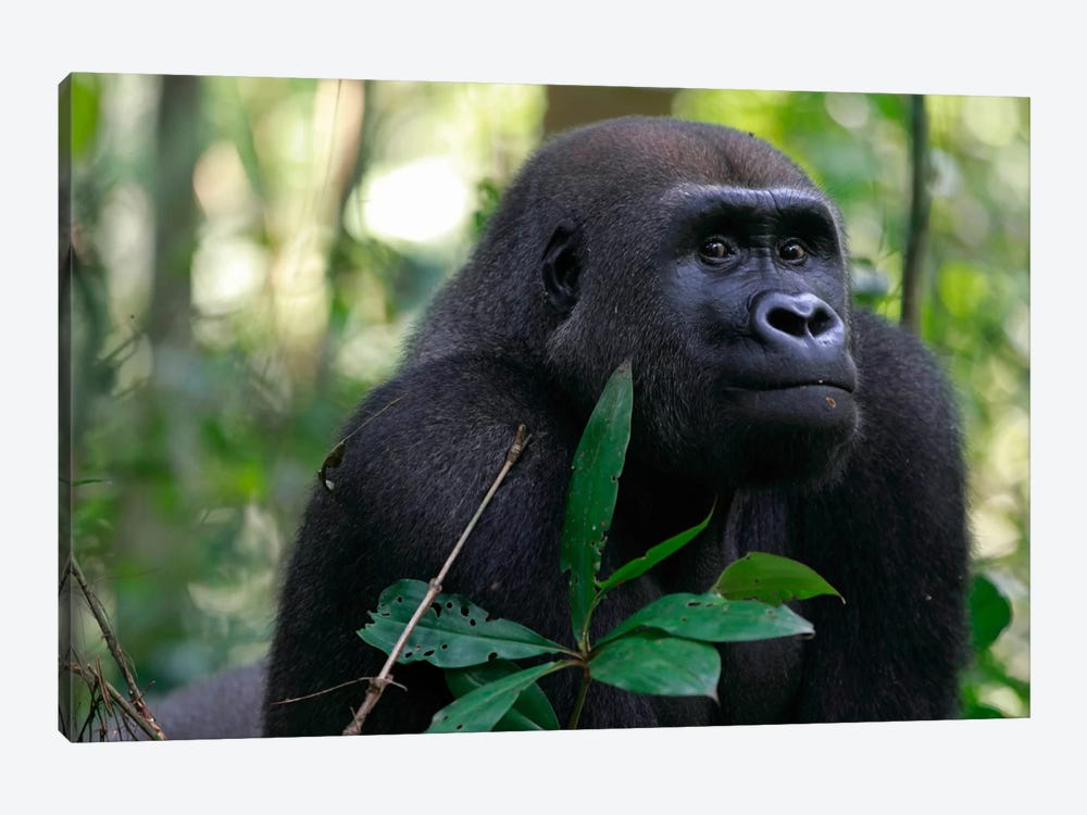 Fifteen Year Old Silverback Western Lowland Gorilla, Bateke Plateau National Park, Gabon by Cyril Ruoso 1-piece Canvas Print