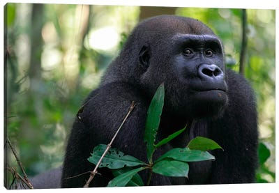 Fifteen Year Old Silverback Western Lowland Gorilla, Bateke Plateau National Park, Gabon Canvas Art Print