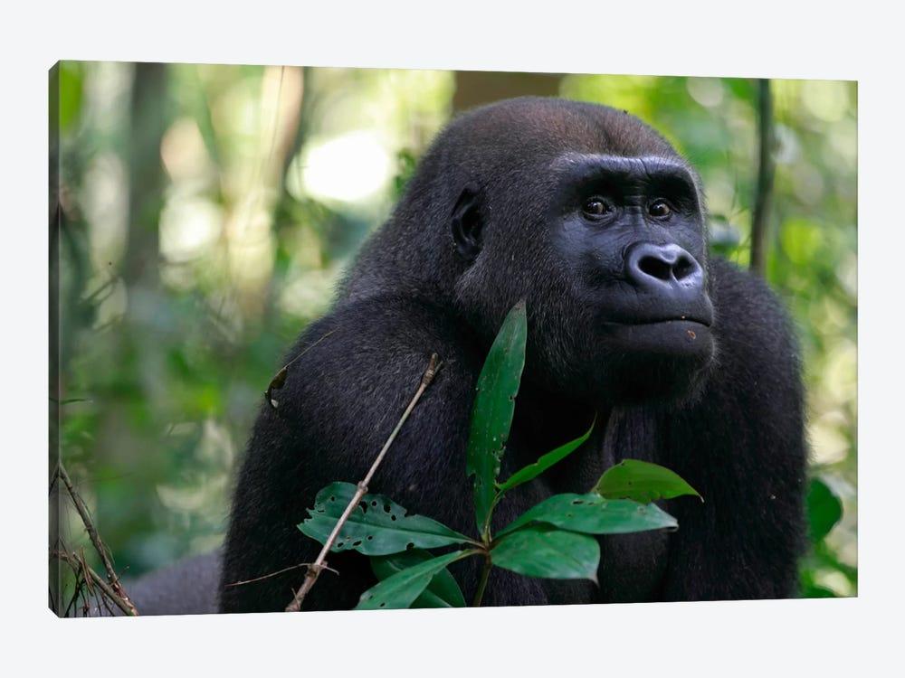 Fifteen Year Old Silverback Western Lowland Gorilla, Bateke Plateau National Park, Gabon by Cyril Ruoso 1-piece Canvas Print