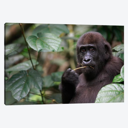 A Feeding Five Year Old Orphan Western Lowland Gorilla, Bateke Plateau National Park, Gabon Canvas Print #CYR24} by Cyril Ruoso Canvas Print