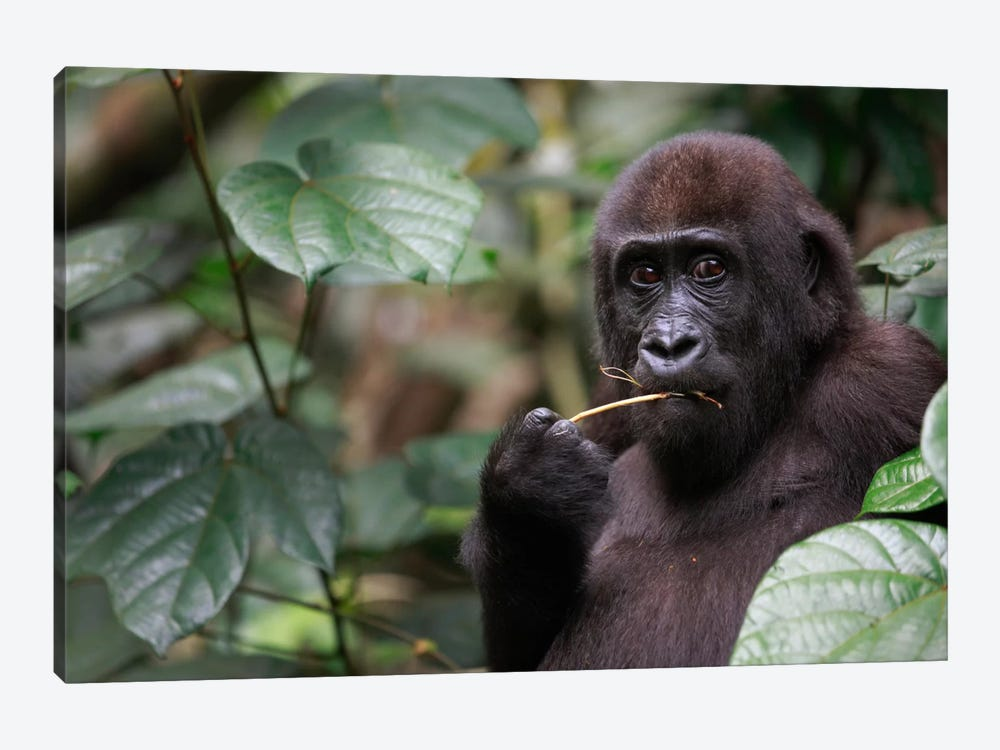 A Feeding Five Year Old Orphan Western Lowland Gorilla, Bateke Plateau National Park, Gabon by Cyril Ruoso 1-piece Canvas Art