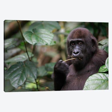 A Feeding Five Year Old Orphan Western Lowland Gorilla, Bateke Plateau National Park, Gabon Canvas Print #CYR24} by Cyril Ruoso Canvas Print