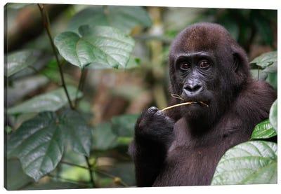 A Feeding Five Year Old Orphan Western Lowland Gorilla, Bateke Plateau National Park, Gabon Canvas Art Print