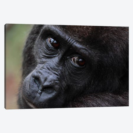 Close-Up Of A Five Year Old Orphan Western Lowland Gorilla, Bateke Plateau National Park, Gabon Canvas Print #CYR25} by Cyril Ruoso Canvas Art Print