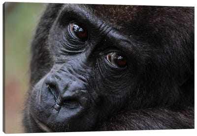 Close-Up Of A Five Year Old Orphan Western Lowland Gorilla, Bateke Plateau National Park, Gabon Canvas Art Print