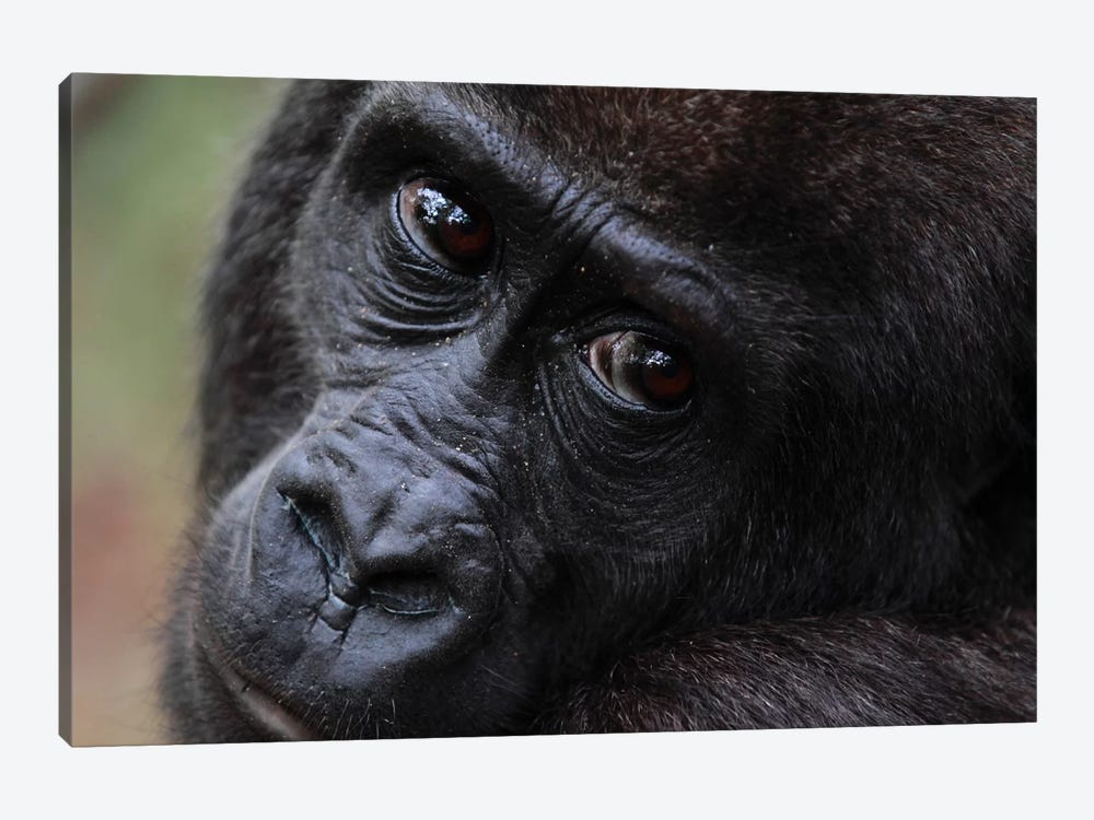 Close-Up Of A Five Year Old Orphan Western Lowland Gorilla, Bateke Plateau National Park, Gabon by Cyril Ruoso 1-piece Art Print