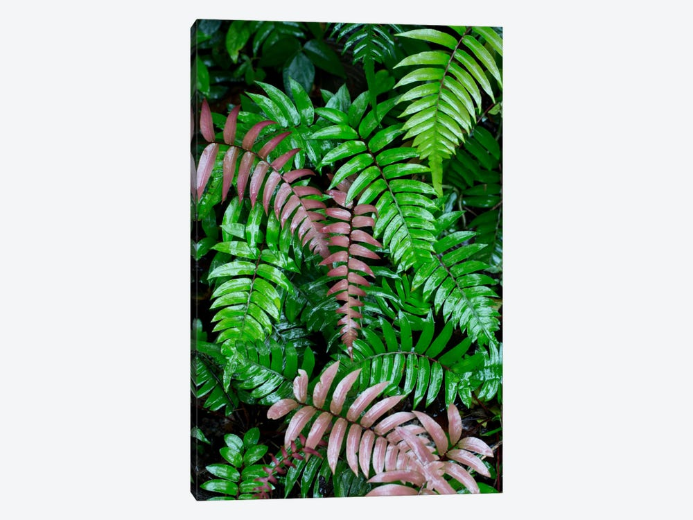 Wet Fern Fronds In Tropical Rainforest, Barro Colorado Island, Panama by Cyril Ruoso 1-piece Canvas Art
