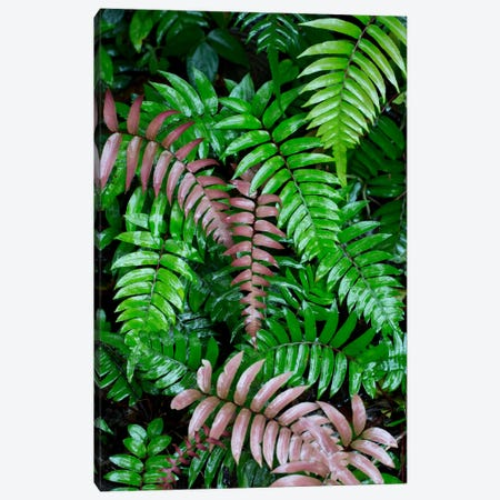 Wet Fern Fronds In Tropical Rainforest, Barro Colorado Island, Panama 3-Piece Canvas #CYR26} by Cyril Ruoso Art Print