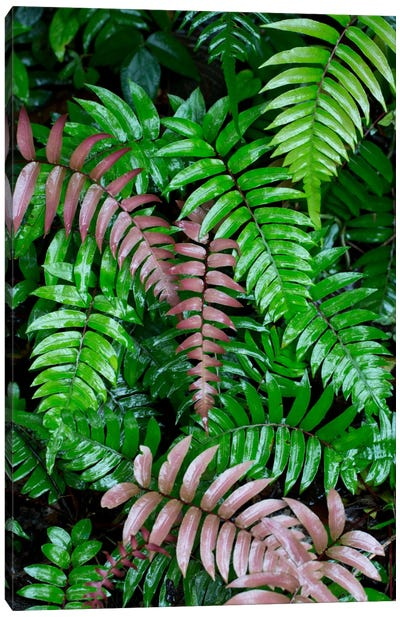 Wet Fern Fronds In Tropical Rainforest, Barro Colorado Island, Panama Canvas Art Print