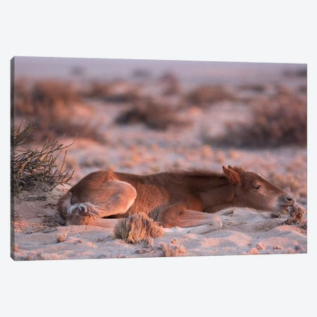 Namib Desert Horse Foal Feeding On Shrub In Desert, Namib-Naukluft National Park, Namibia Canvas Print #CYR28} by Cyril Ruoso Canvas Artwork