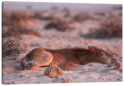 Namib Desert Horse Foal Feeding On Shrub In Desert, Namib-Naukluft National Park, Namibia Canvas Art Print