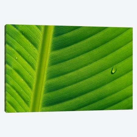 Banana Close Up Of Leaf With Water Droplets, Rwanda Canvas Print #CYR2} by Cyril Ruoso Art Print
