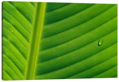 Banana Close Up Of Leaf With Water Droplets, Rwanda Canvas Art Print