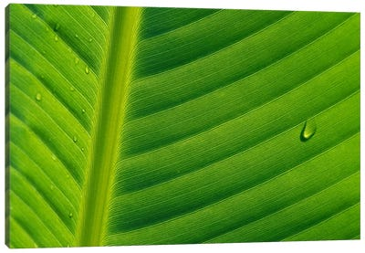 Banana Close Up Of Leaf With Water Droplets, Rwanda Canvas Art Print