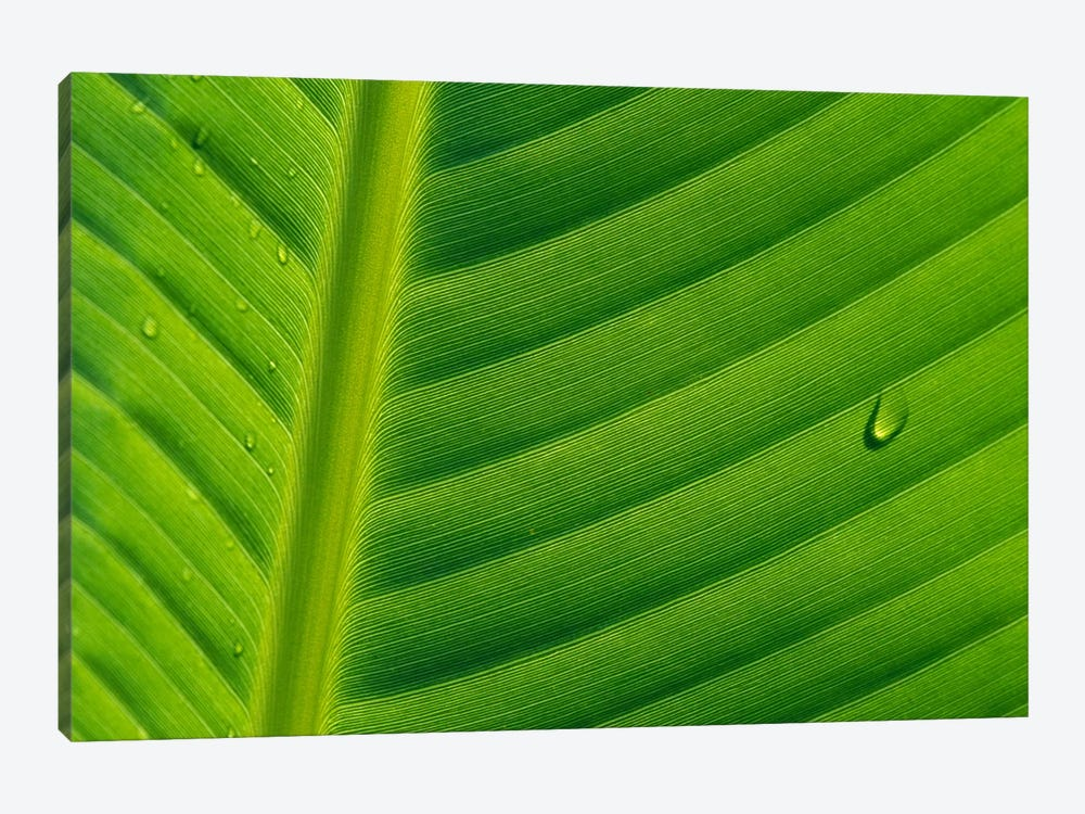 Banana Close Up Of Leaf With Water Droplets, Rwanda by Cyril Ruoso 1-piece Canvas Art