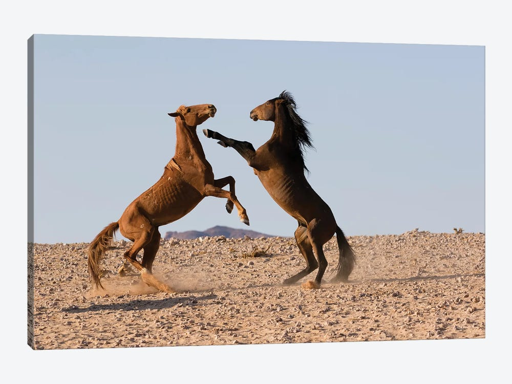 Namib Desert Horse Stallions Fighting In Desert, Namib-Naukluft National Park, Namibia by Cyril Ruoso 1-piece Canvas Art