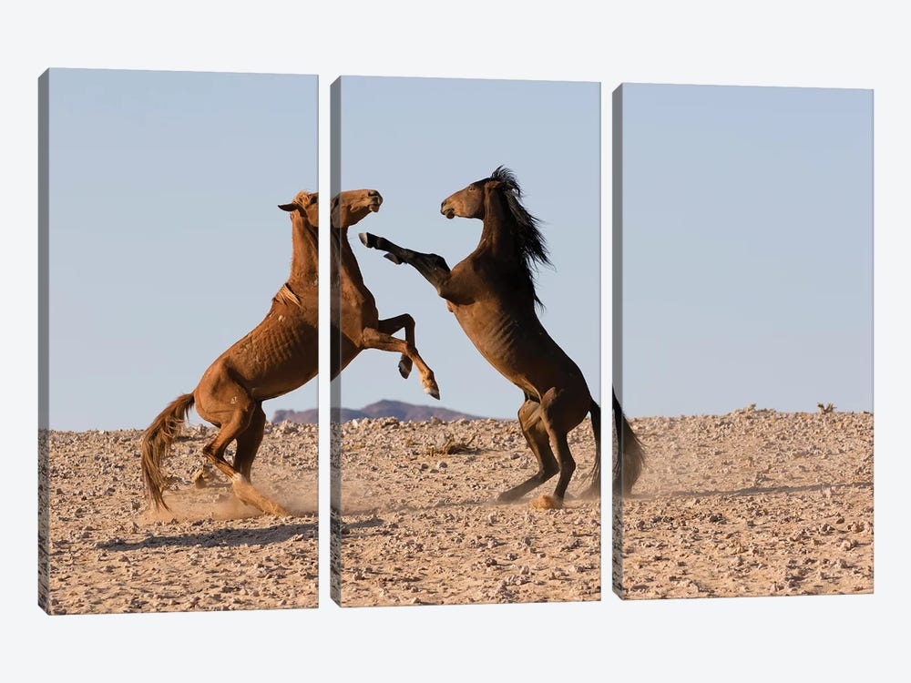 Namib Desert Horse Stallions Fighting In Desert, Namib-Naukluft National Park, Namibia by Cyril Ruoso 3-piece Canvas Art