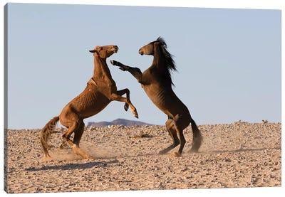Namib Desert Horse Stallions Fighting In Desert, Namib-Naukluft National Park, Namibia Canvas Art Print